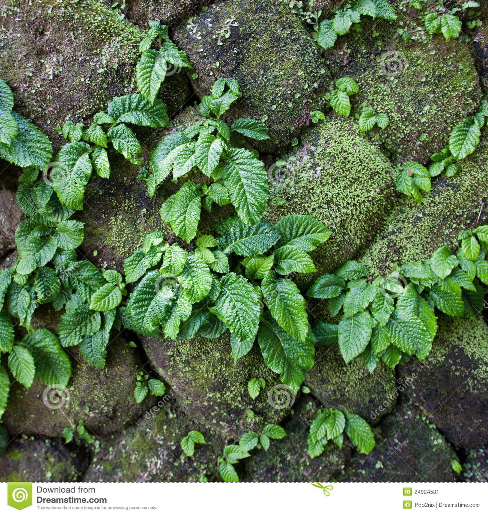 Close Up Parasite Plant On Stone Wall Stock Image Image