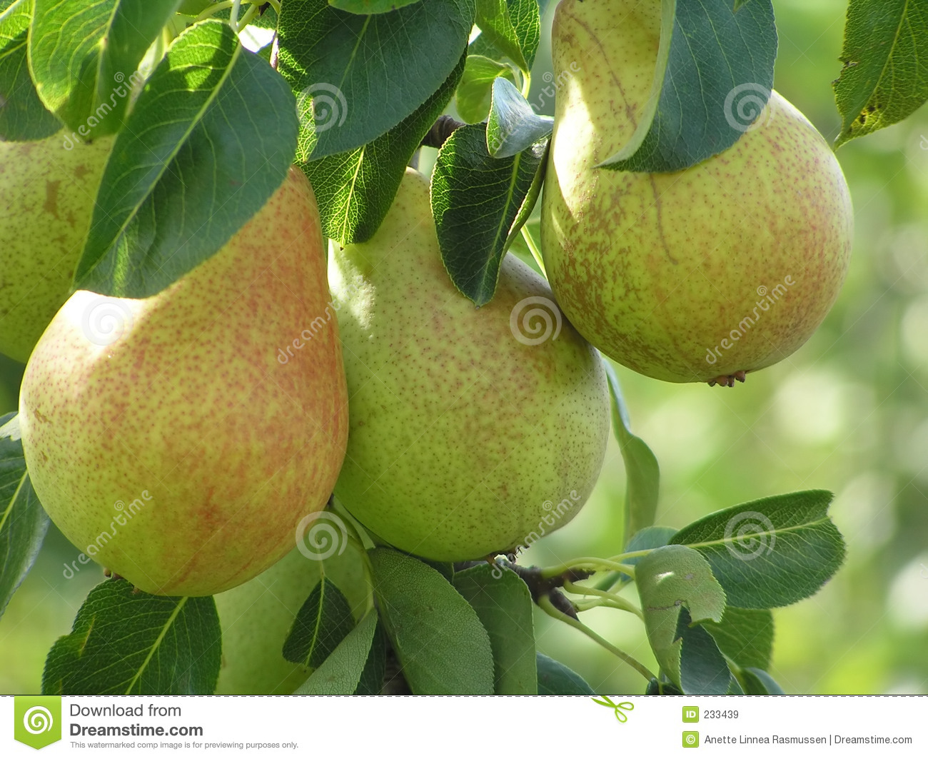Close-up of pears