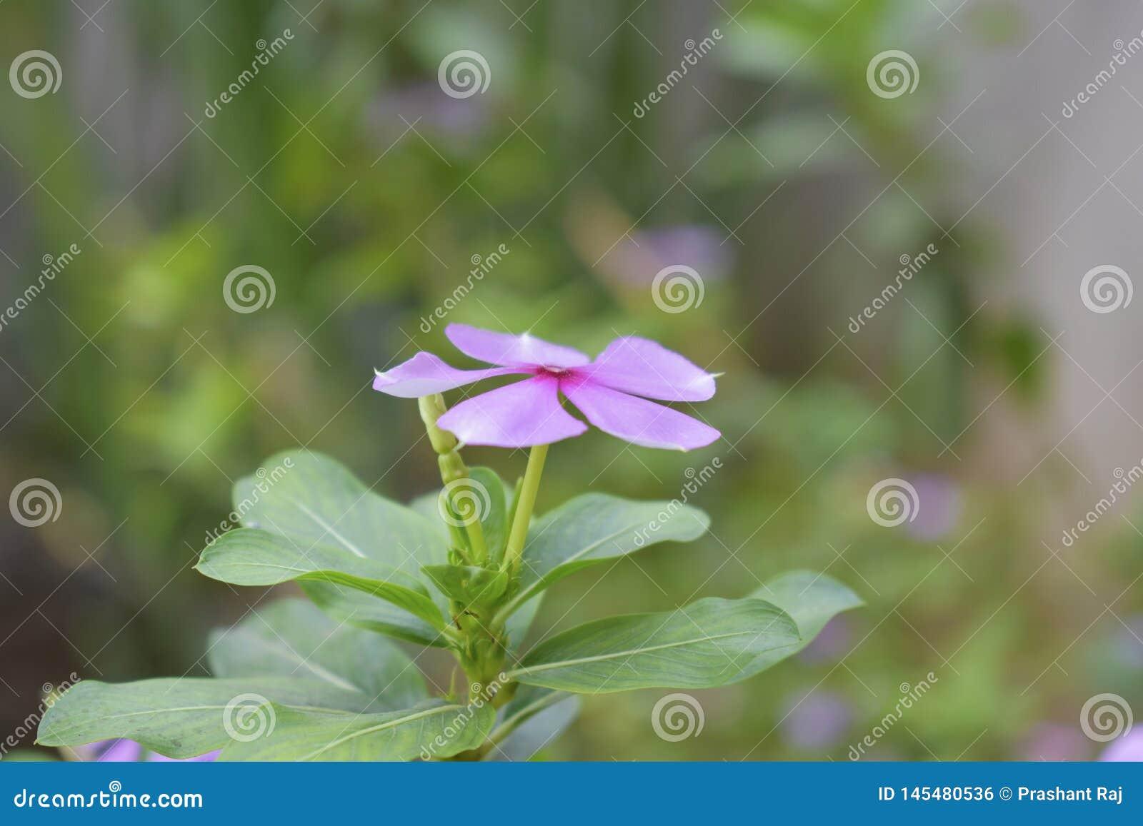 Catharanthus madagascar periwinkle , sadabahar