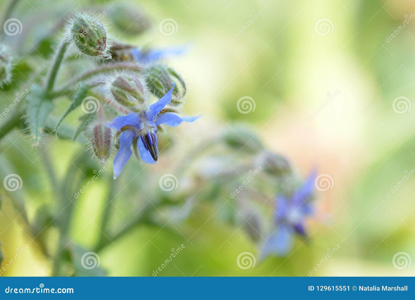 Close up photo of a borage plant, soft light and colours
