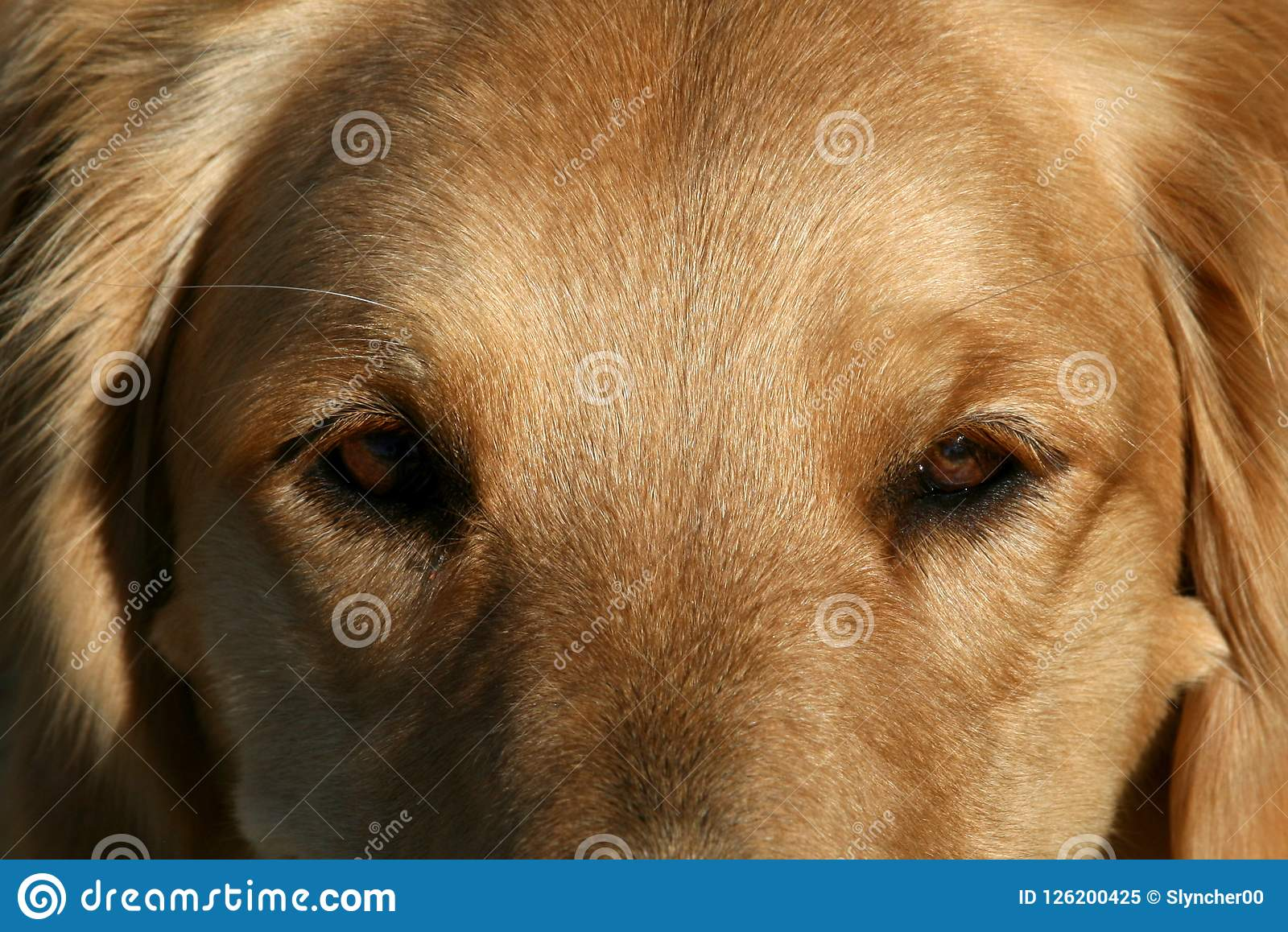 Close Up Of Golden Retriever Dog Eyes Stock Image Image Of Golden