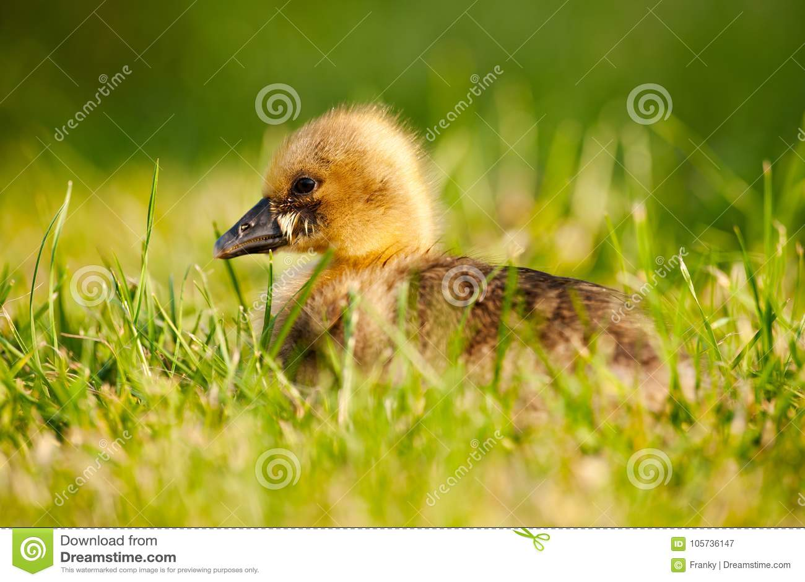 Greylag Goose chick Anser anser