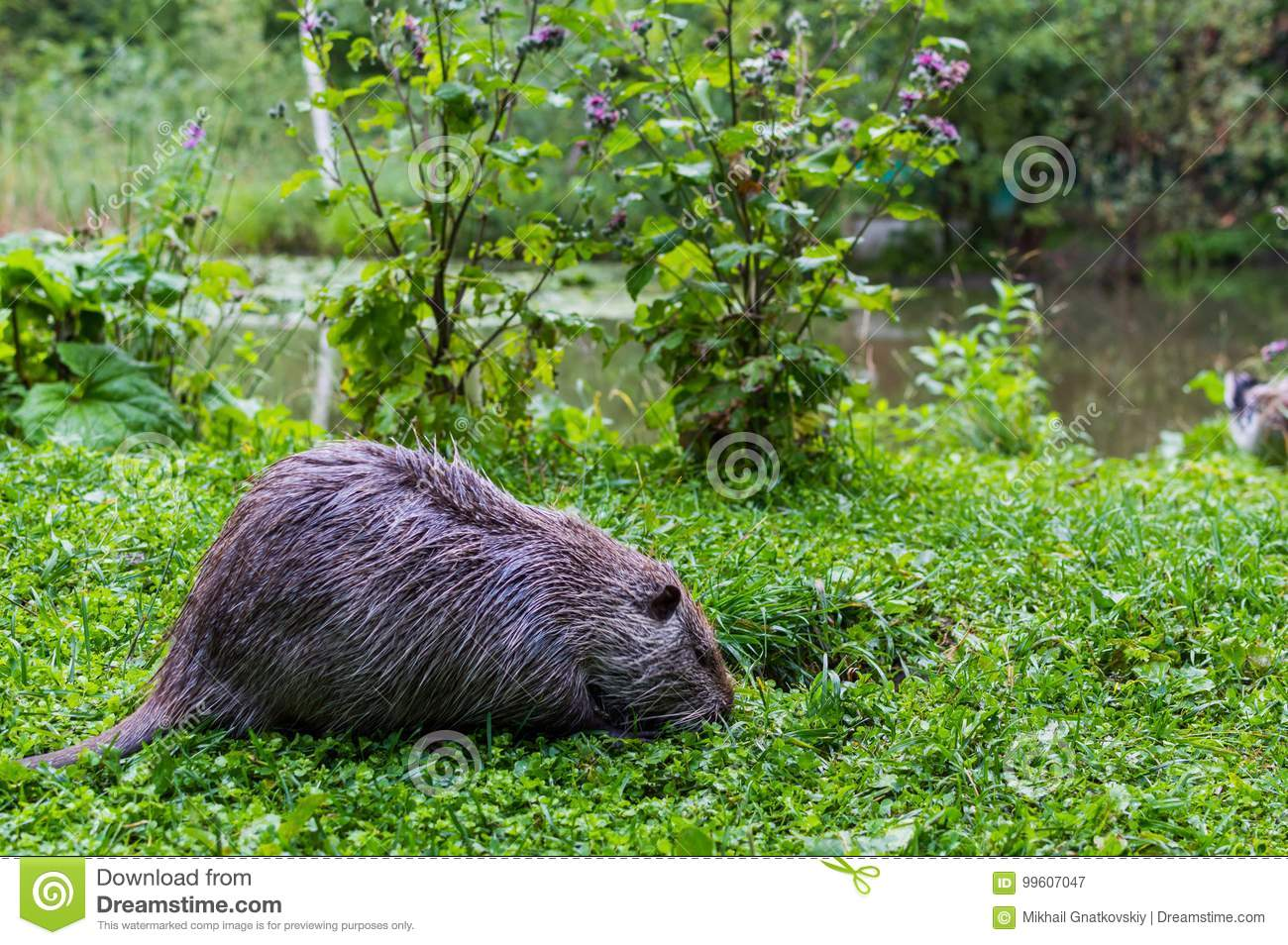 Close up photo of a nutria, also called coypu or river rat, against green background