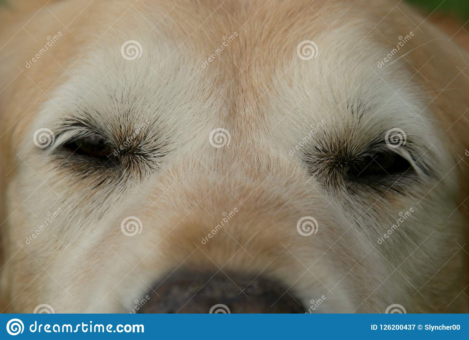 Close Up Of Old Golden Retriever Dog Eyes Stock Image Image Of