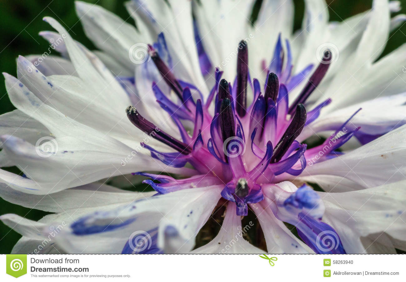 closeup photo of a purple and white flower for background or, Natural flower