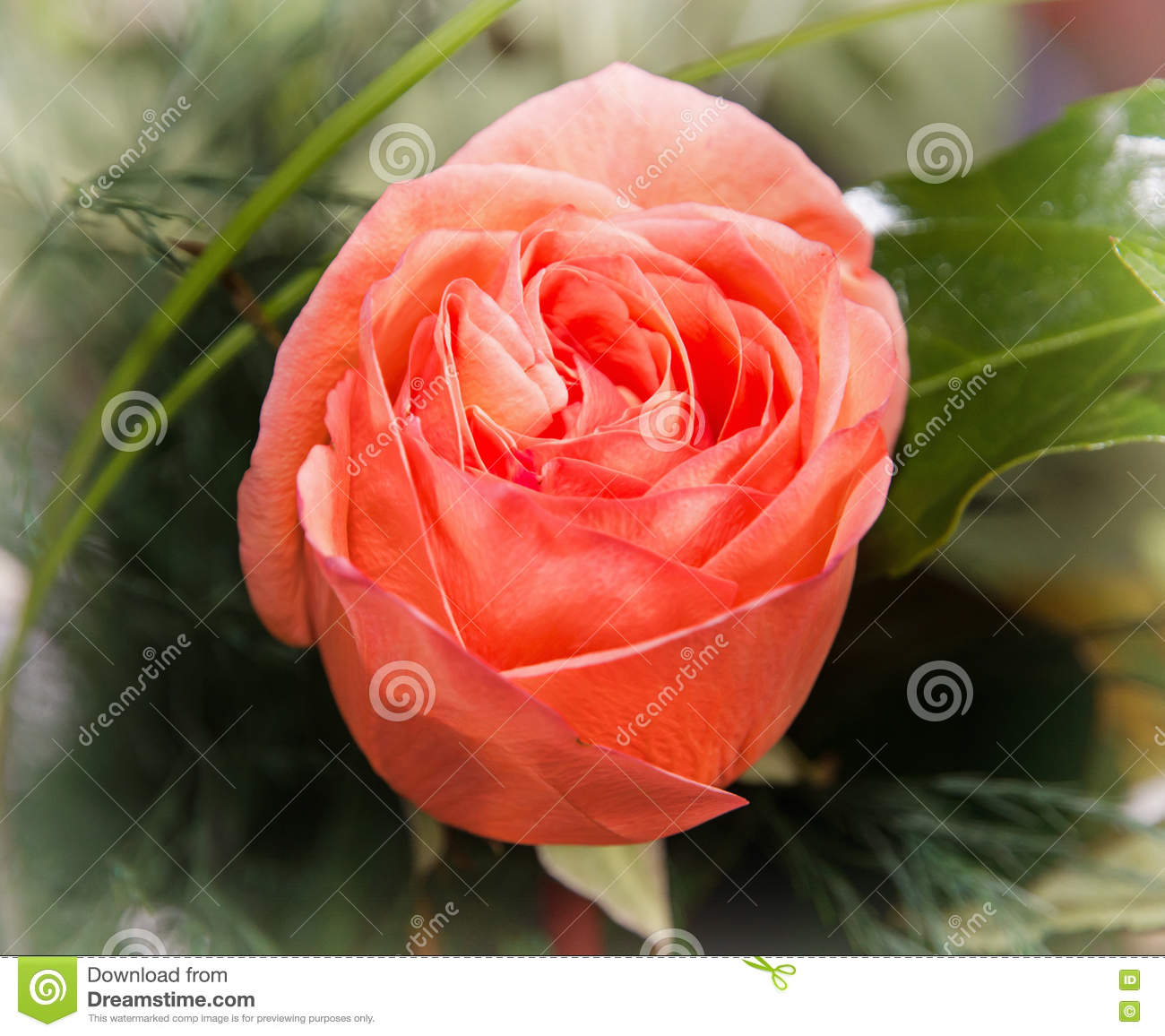 Close up photo of the red rose flower symbol of love for Natural rose colors