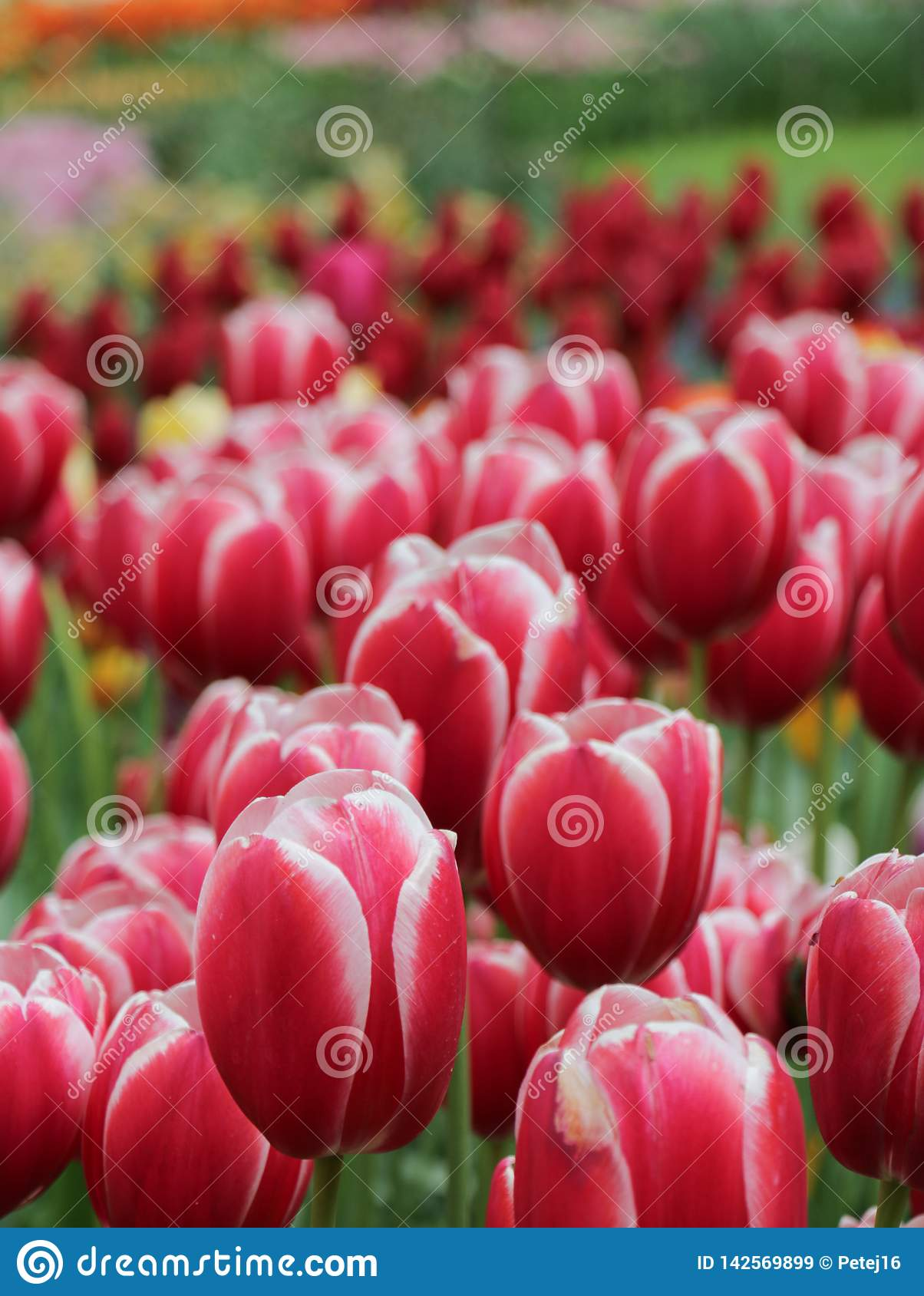 Closeup of variegated red tulip flowers
