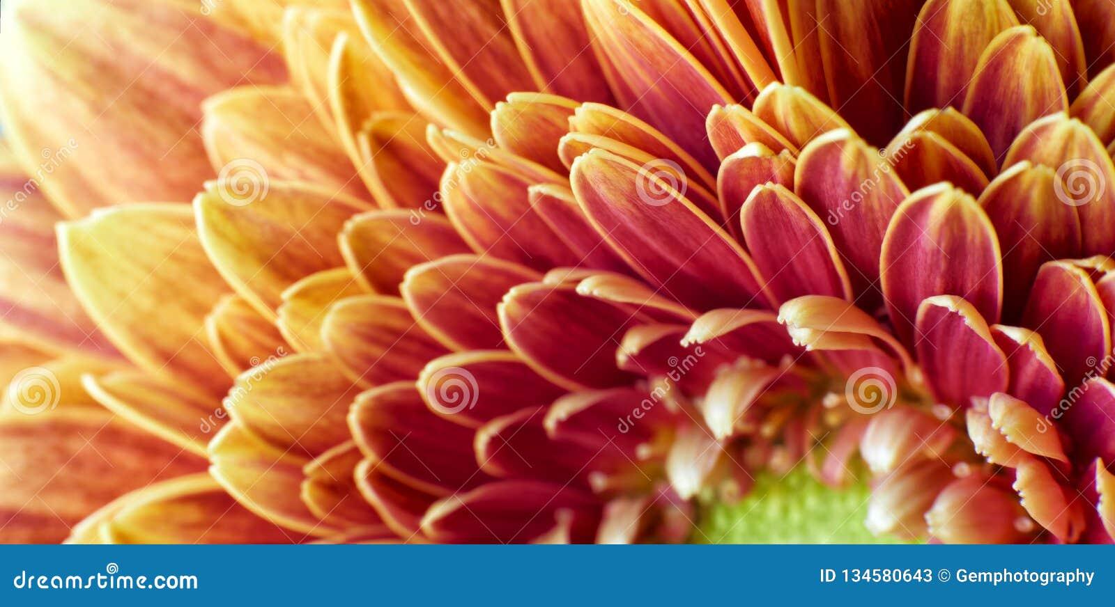 Golden Chrysanthemum