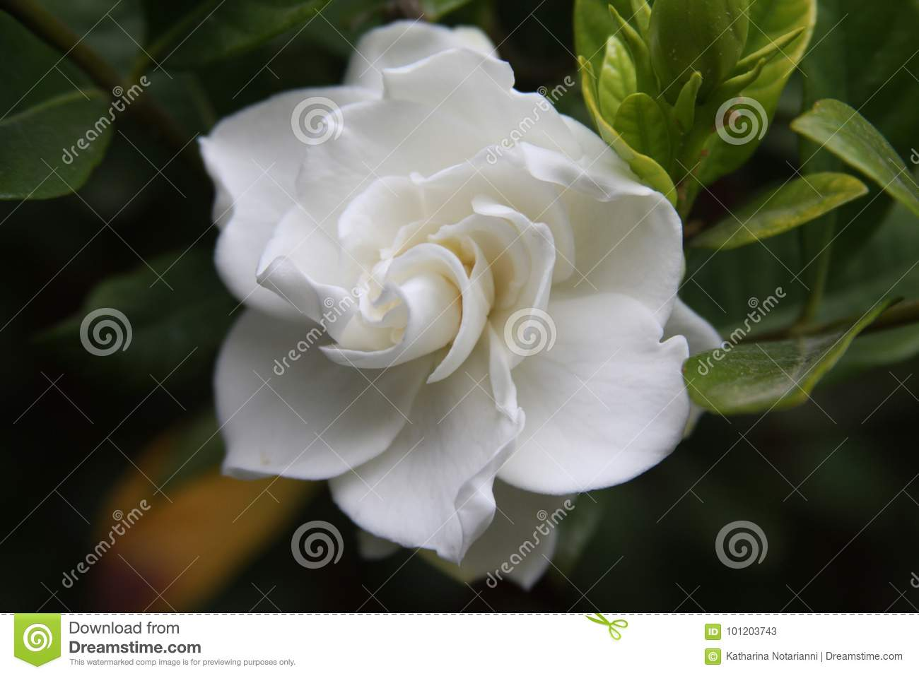 Gardenia Flower Close Up Stock Image Image Of Flower 101203743