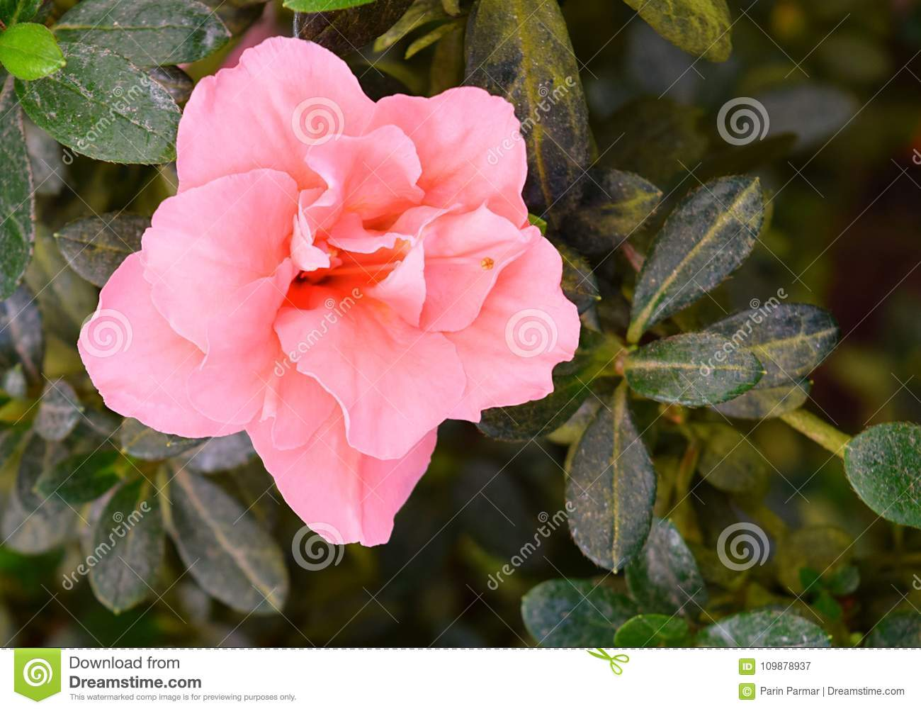 Close Up Of Pretty Pink Flowers Of Azalea Rhododendron Simsii With