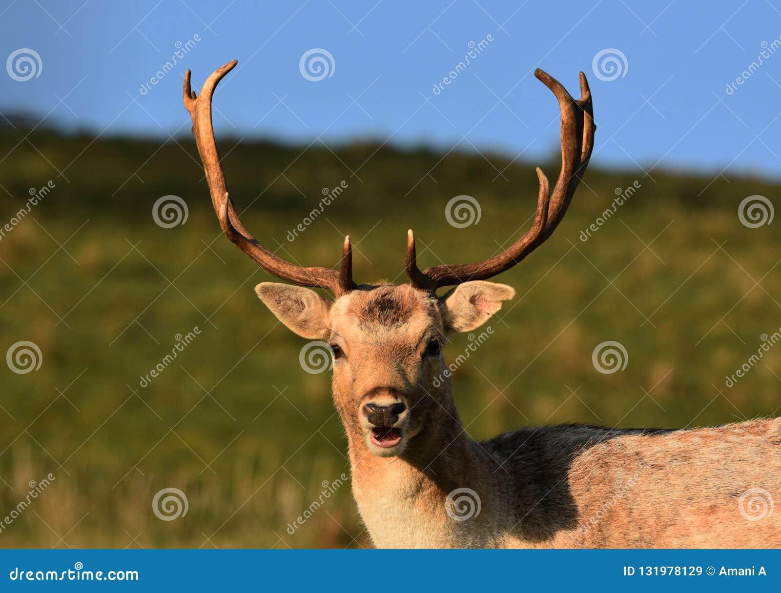 Fallow Deer Stag / Buck