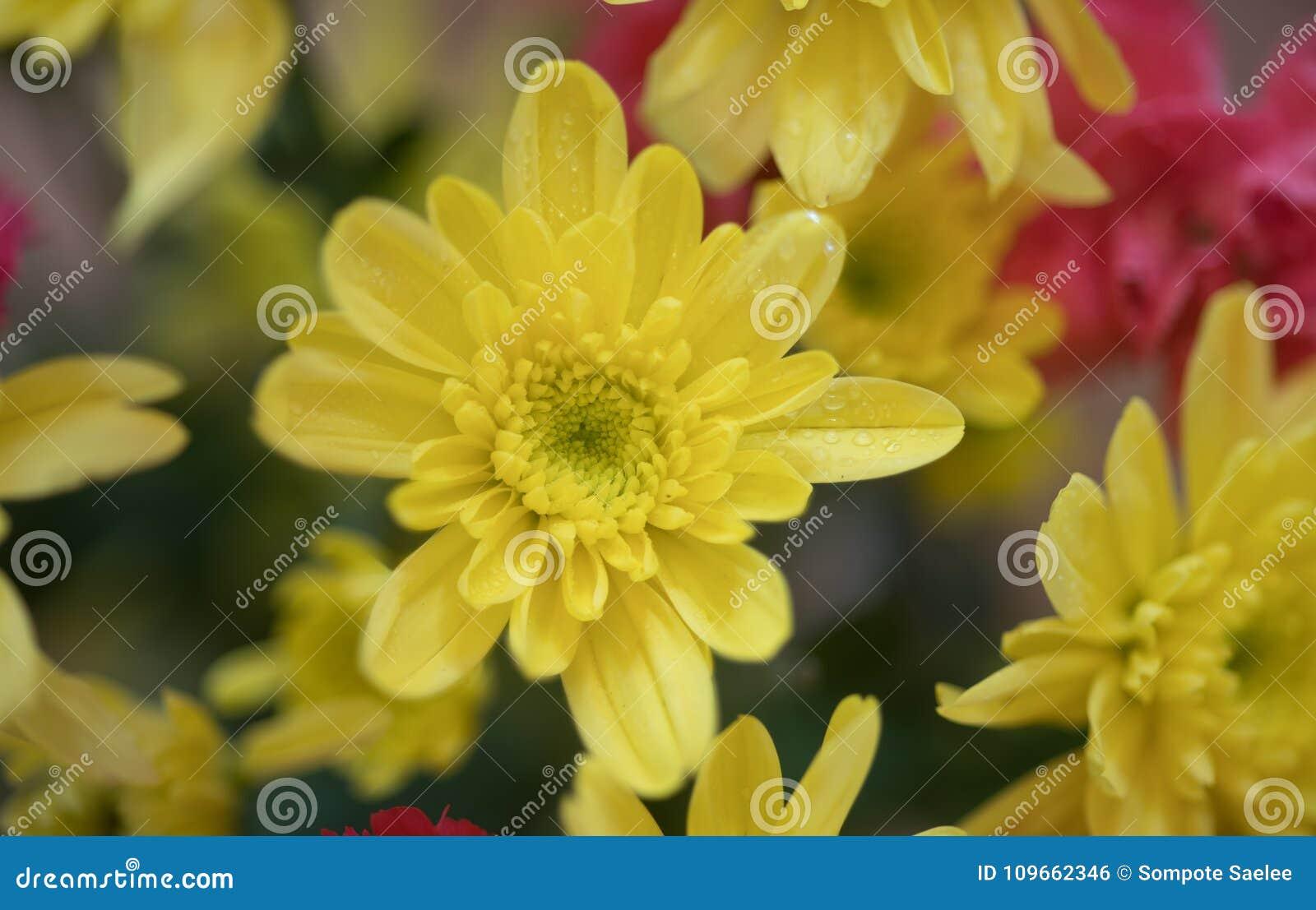Close Up Photography Of Yellow Chrysanthemum Flowers Stock Photo