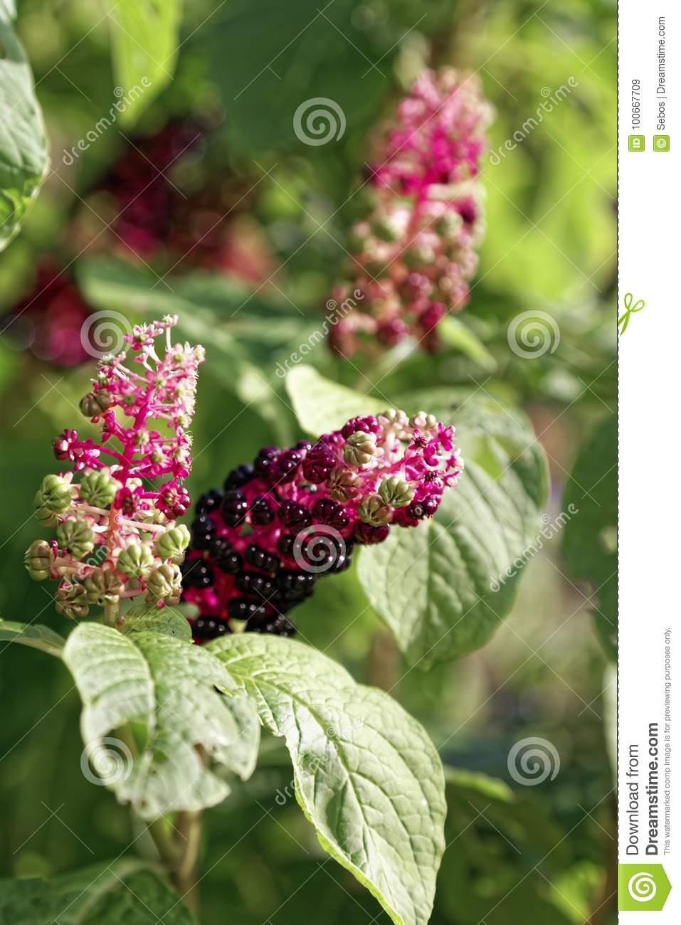 Close up of phytolacca acinosa berry in autumn botanical garden stock image image of for What time does the botanical gardens close