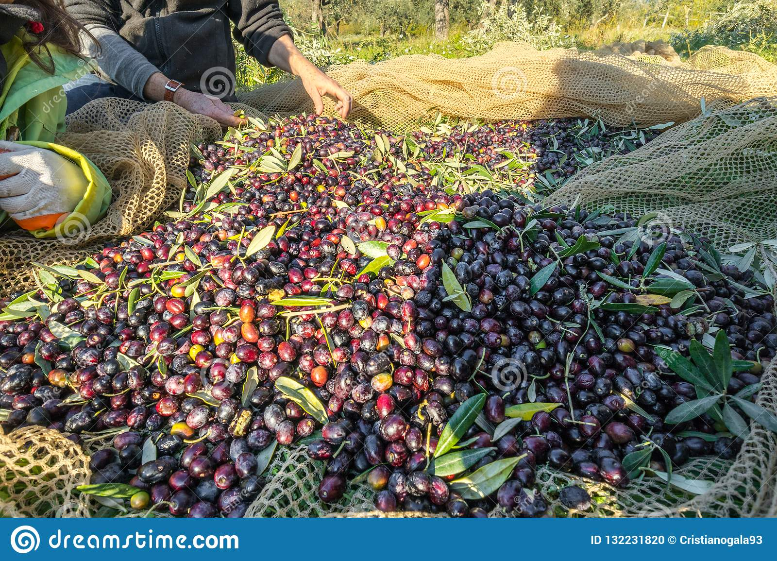 Close up of picked olives from Harvest In Italy