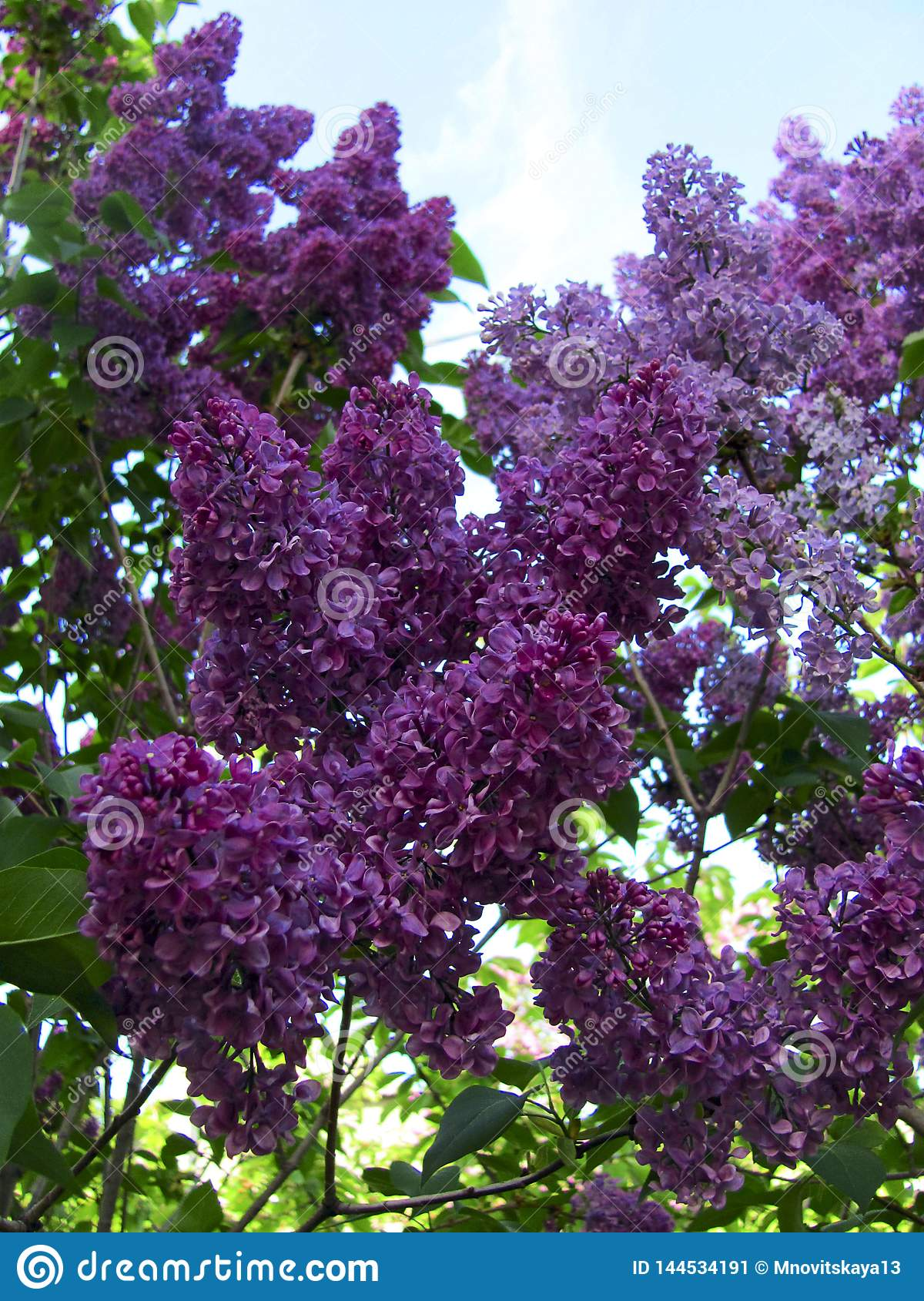Picture of bright violet lilac flowers