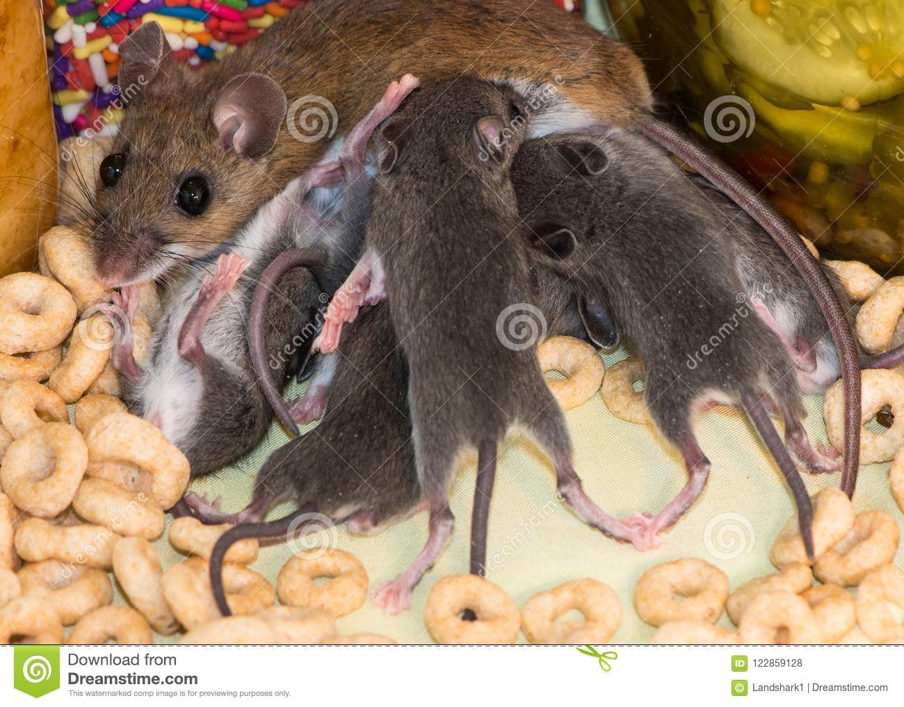 Close Up Picture Of A Huge Family Of House Mice In A Kitchen ...