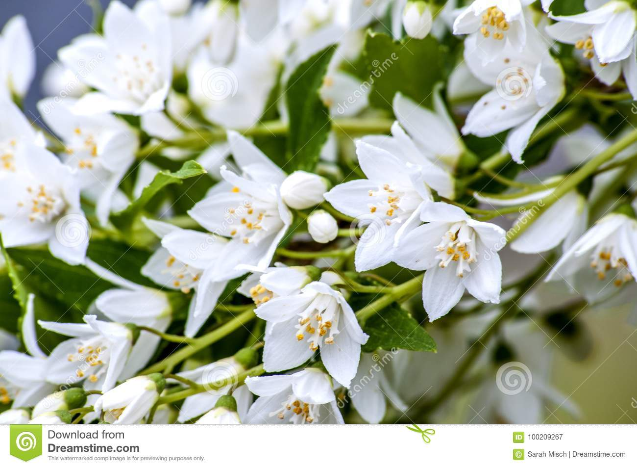 Small White Flowers Cascading Down Stock Image Image Of Nature