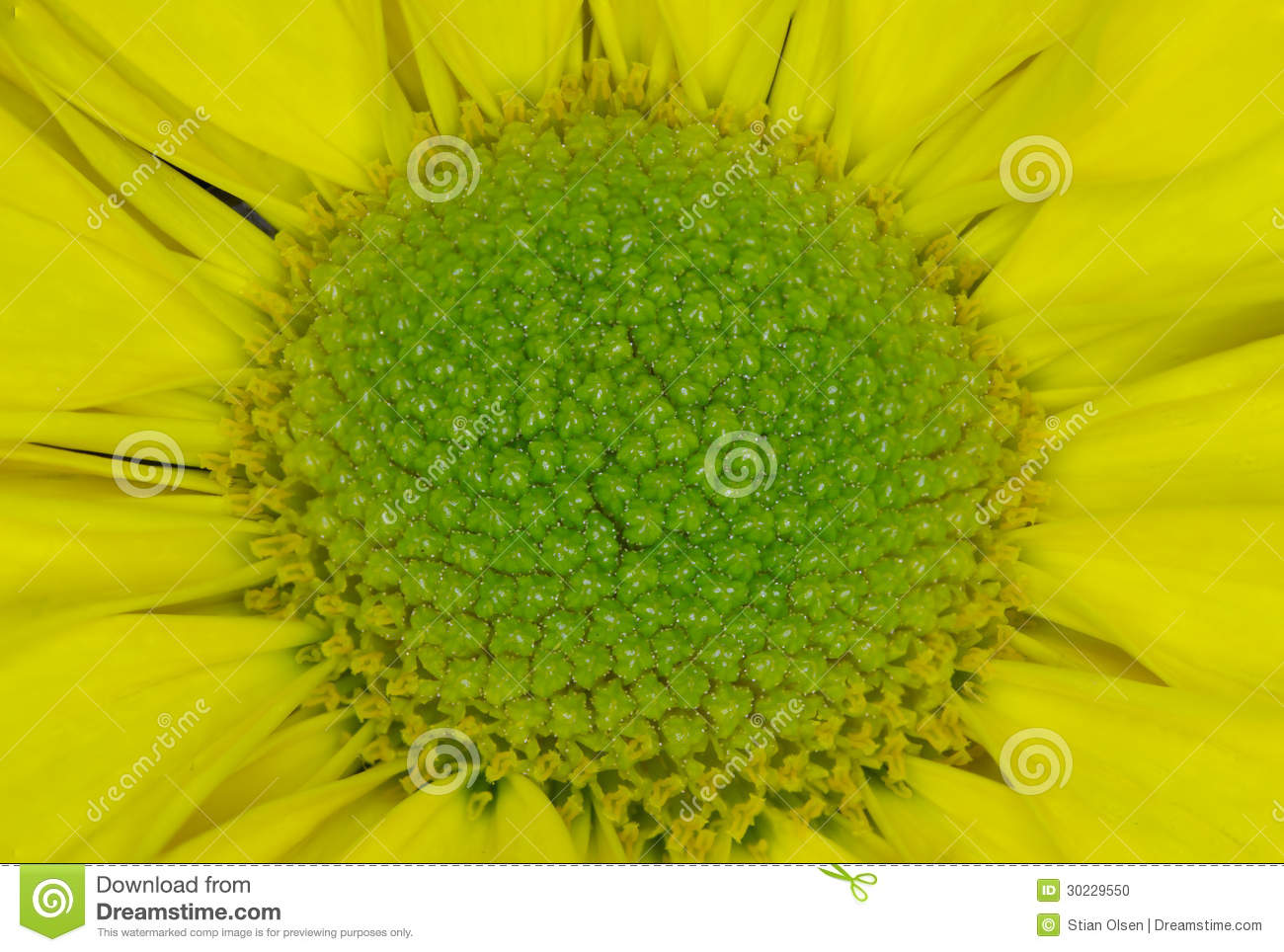 Macro flower center stock photo image of natural botanic 30229550 close up picture of a yellow flower with a green center mightylinksfo