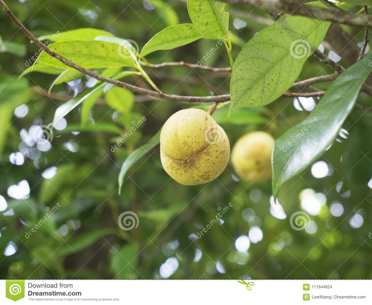 Attractive Male And Female Fruit Trees Part - 11: Close Up Of Pile Of Male Nutmeg Fruits On A Tree , Balik Pulau, Penang,  Malaysia