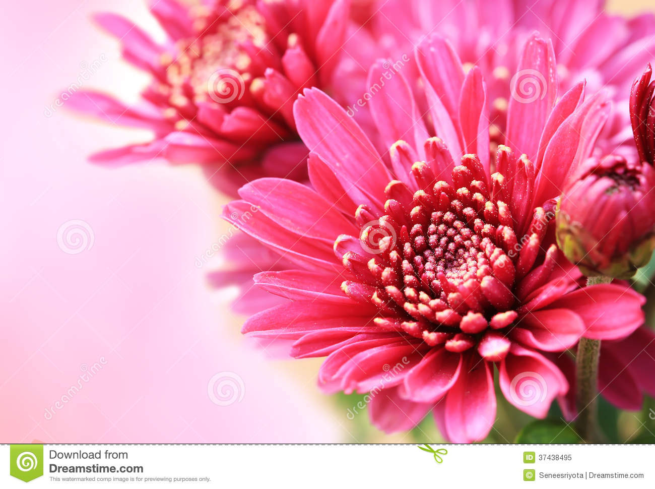 close up pink aster flower for background stock images  image, Beautiful flower