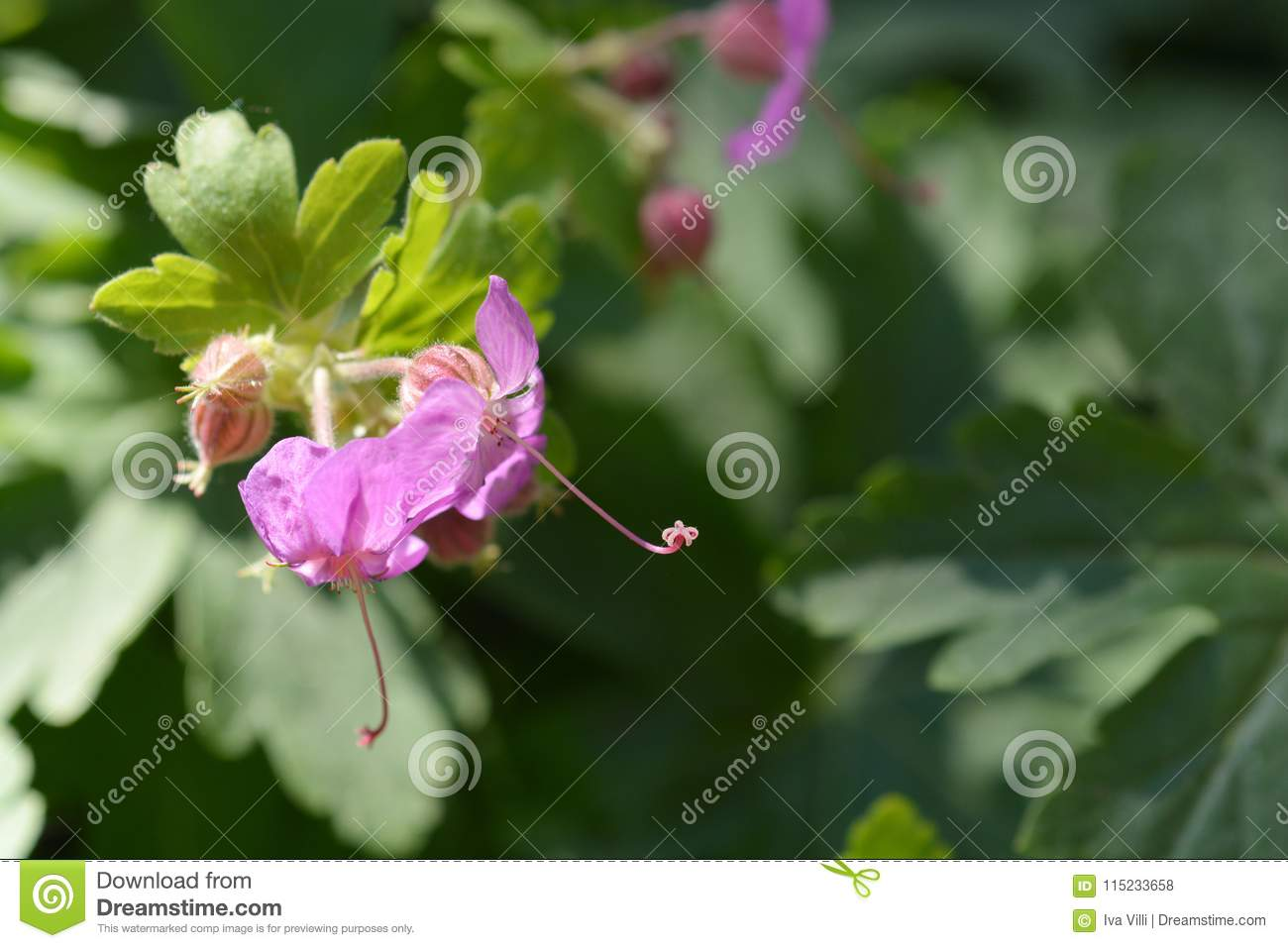 Bigroot Geranium Stock Photo Image Of Flower Geranium 115233658