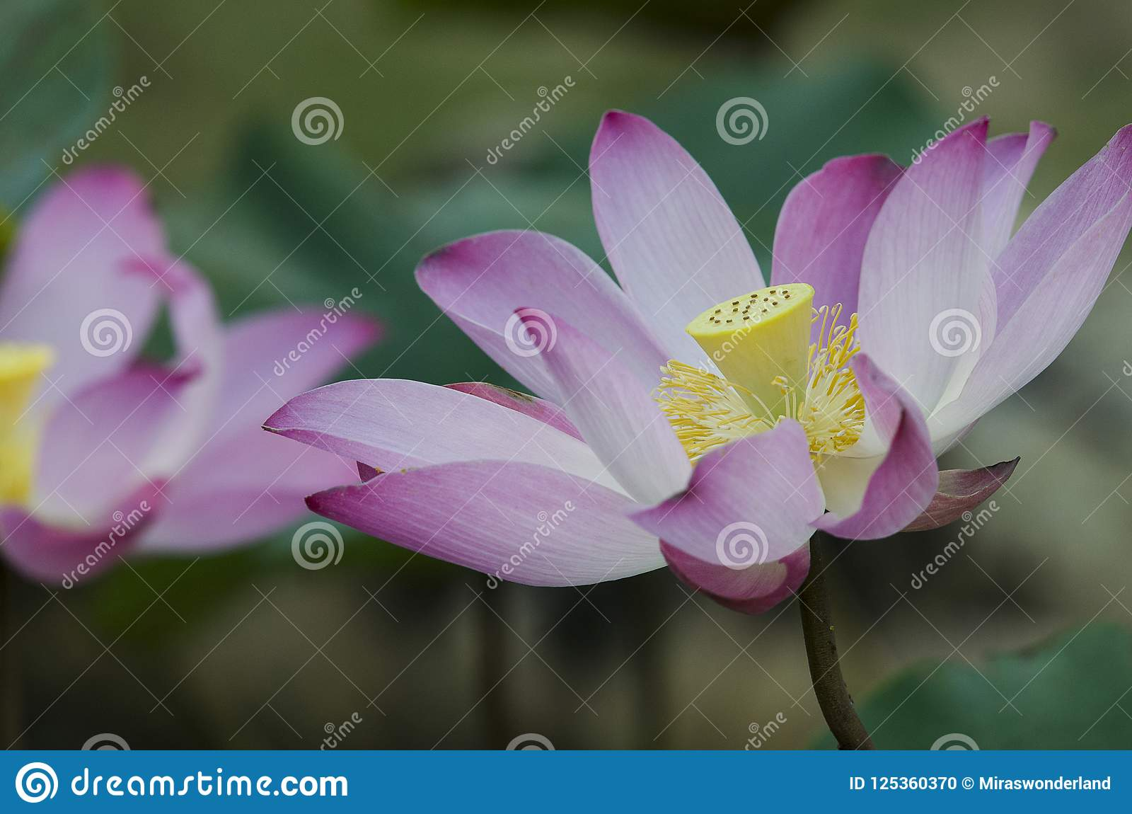 Close up of a pink blooming lotus flowers stock photo image of download close up of a pink blooming lotus flowers stock photo image of flora izmirmasajfo
