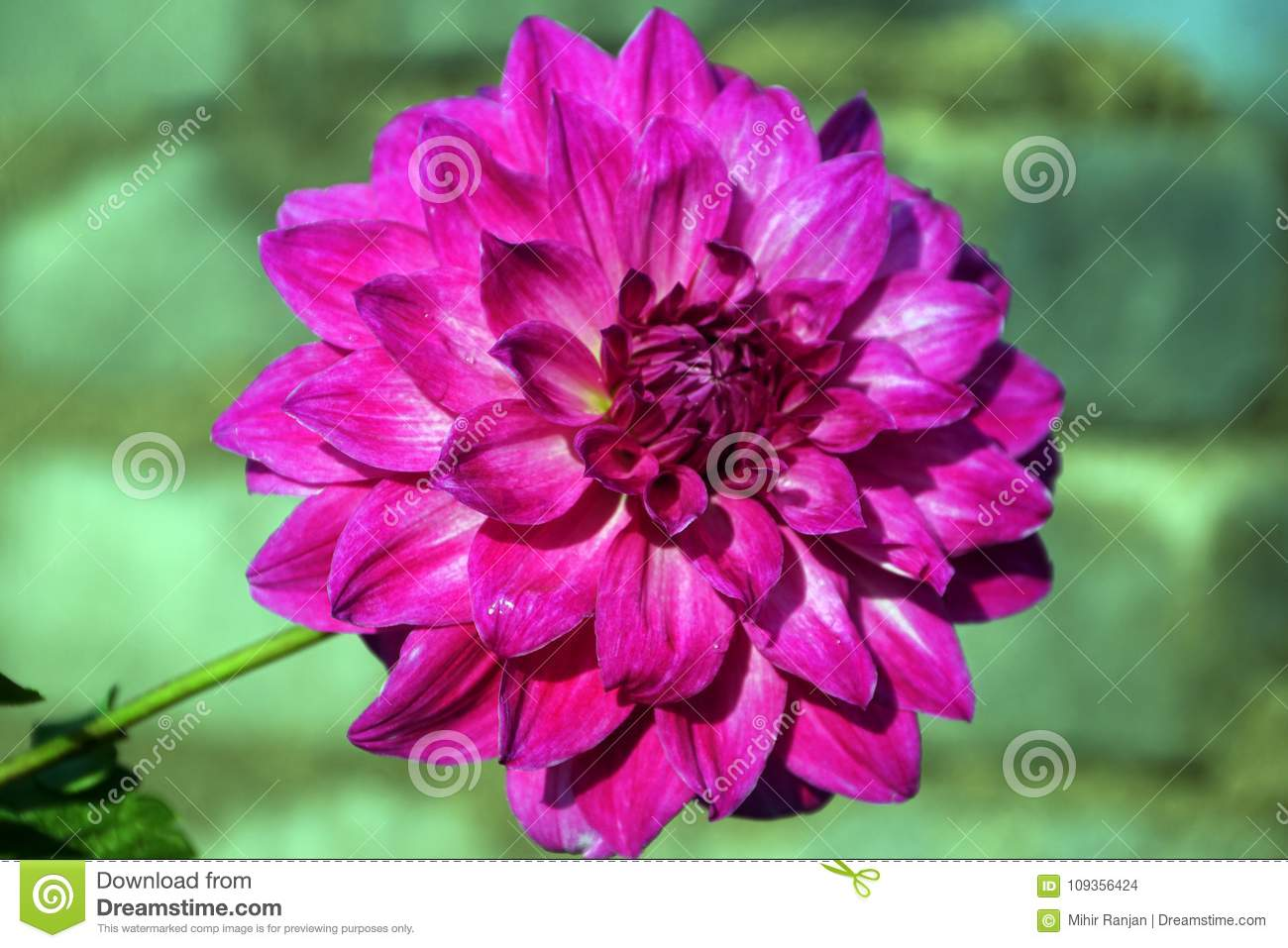 A close up of pink dahlia flower stock photo image of purple download a close up of pink dahlia flower stock photo image of purple izmirmasajfo