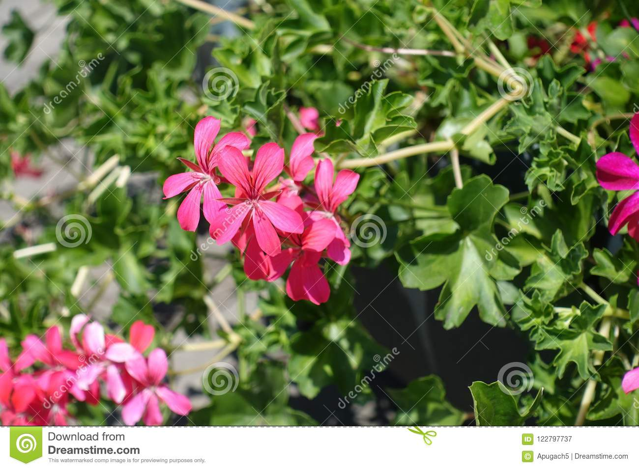 Closeup Of Pink Flowers Of Ivy Leaved Geranium Stock Image Image
