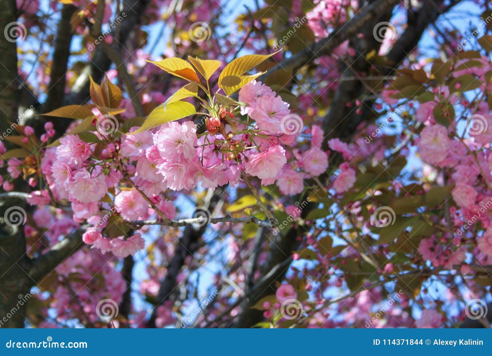 Close up of the pink flowers of japan sakura cherry tree in april close up of the pink flowers of japan sakura cherry tree in april against bright blue mightylinksfo