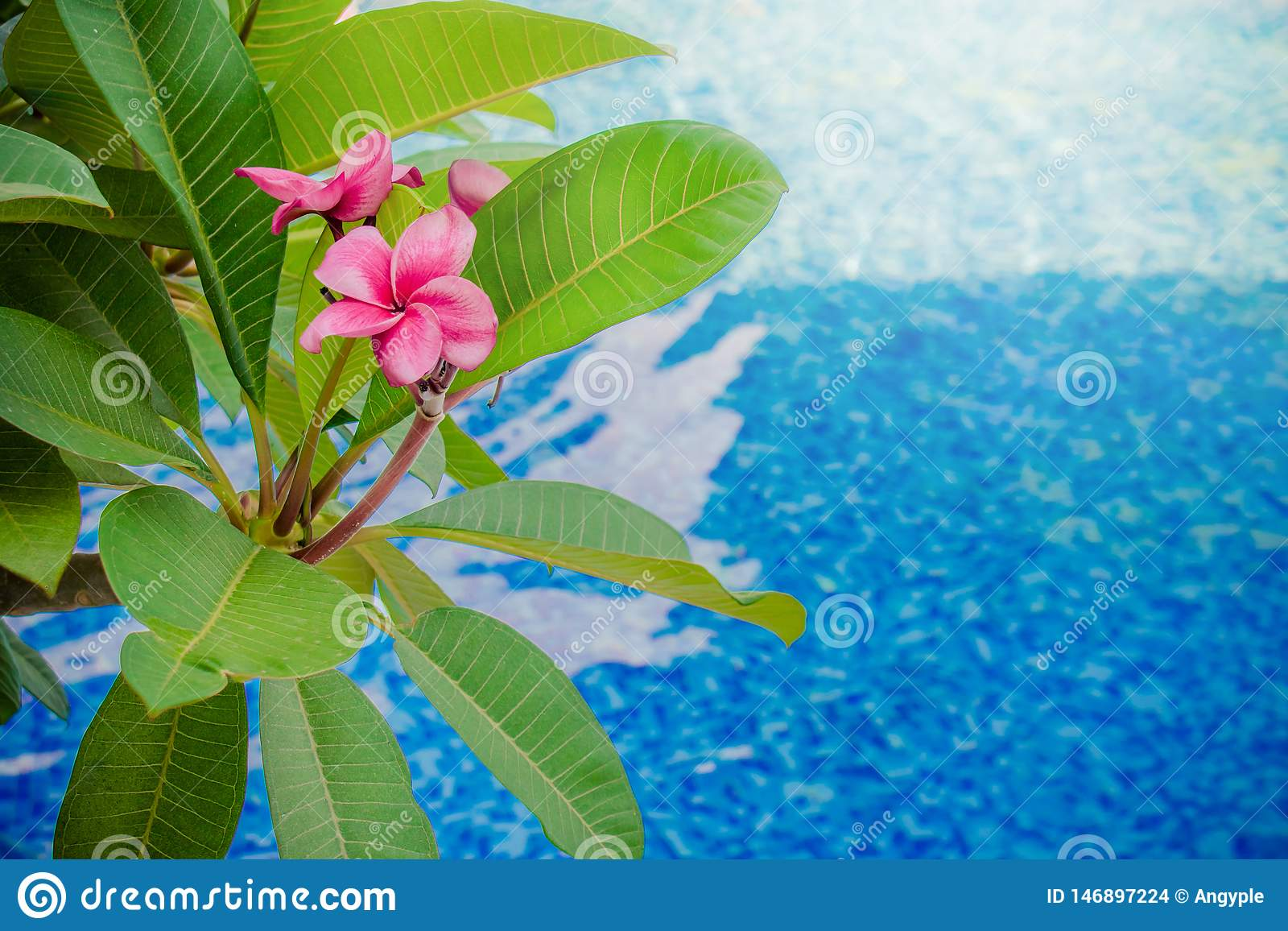 Close up Pink Frangipani or Plumeria flower and green leaves with swimming pool in the background.