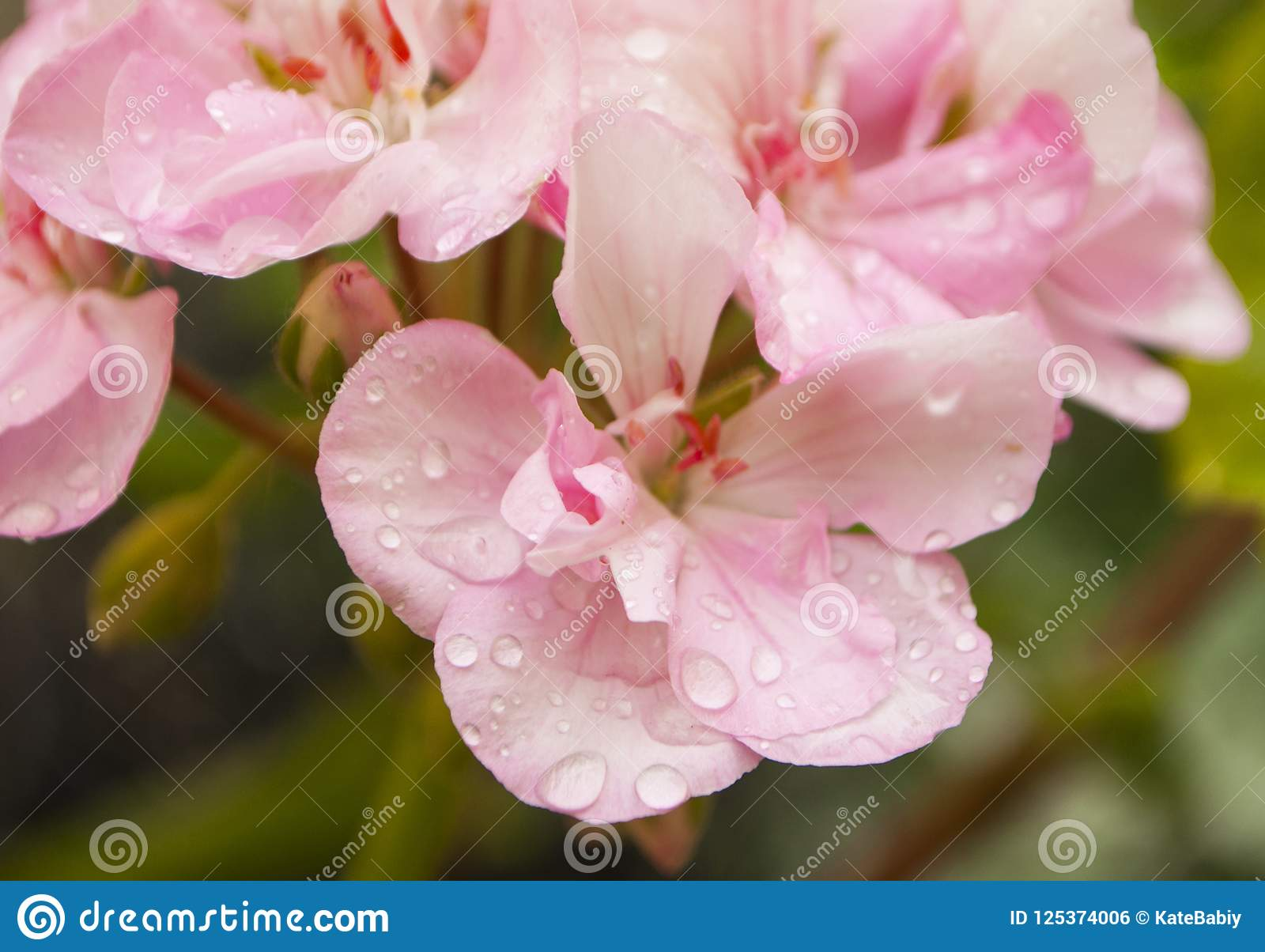 Close up of pink geranium flower.