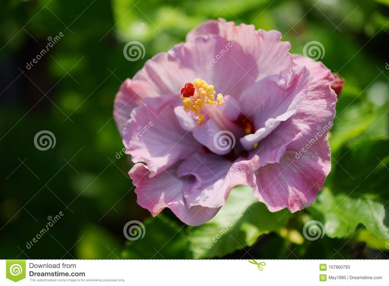 Close up of pink hibiscus flower on green nature background stock download close up of pink hibiscus flower on green nature background stock image image of izmirmasajfo