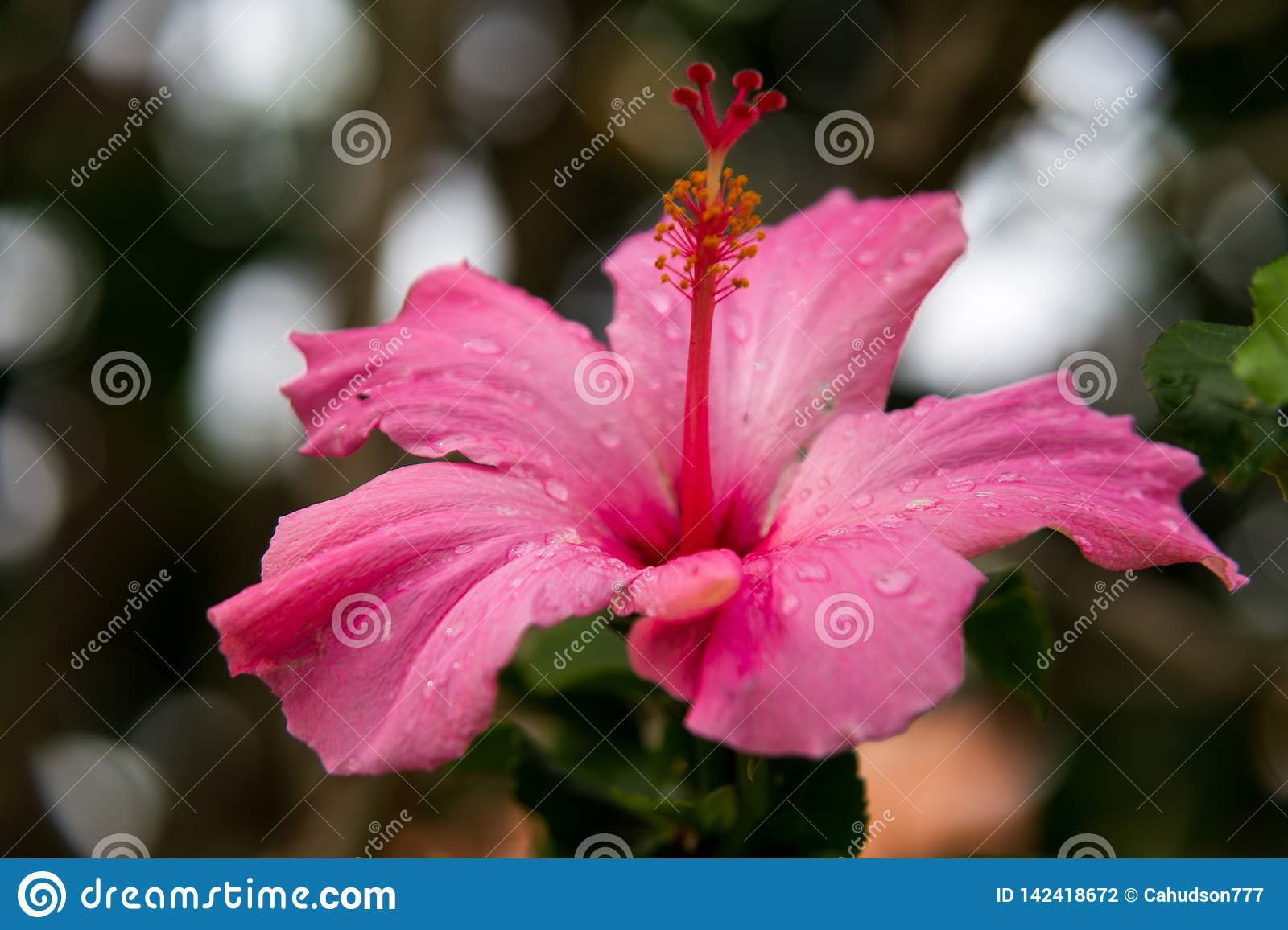 A close-up of a pink hibiscus flower after the rain.