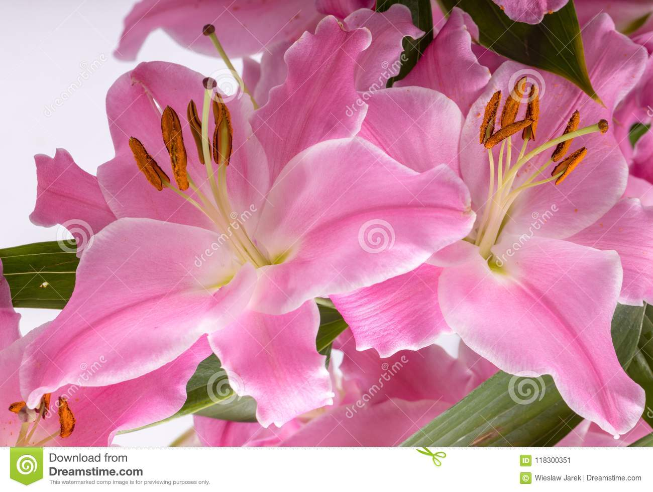 Close Up Of Pink Liles Flowers Stock Image Image Of Beauty