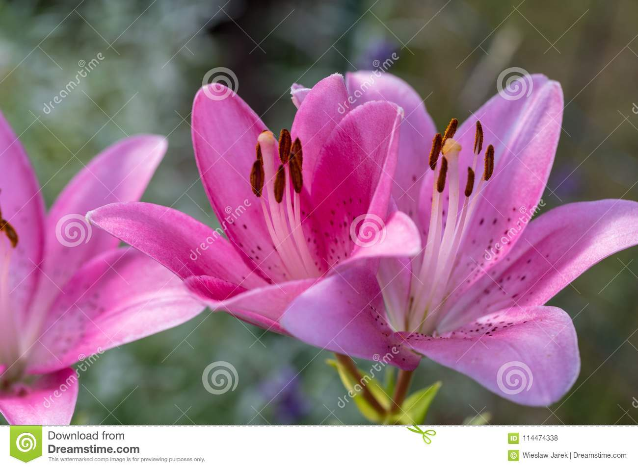 Close Up Of Pink Lily Flower Stock Photo Image Of Delicate