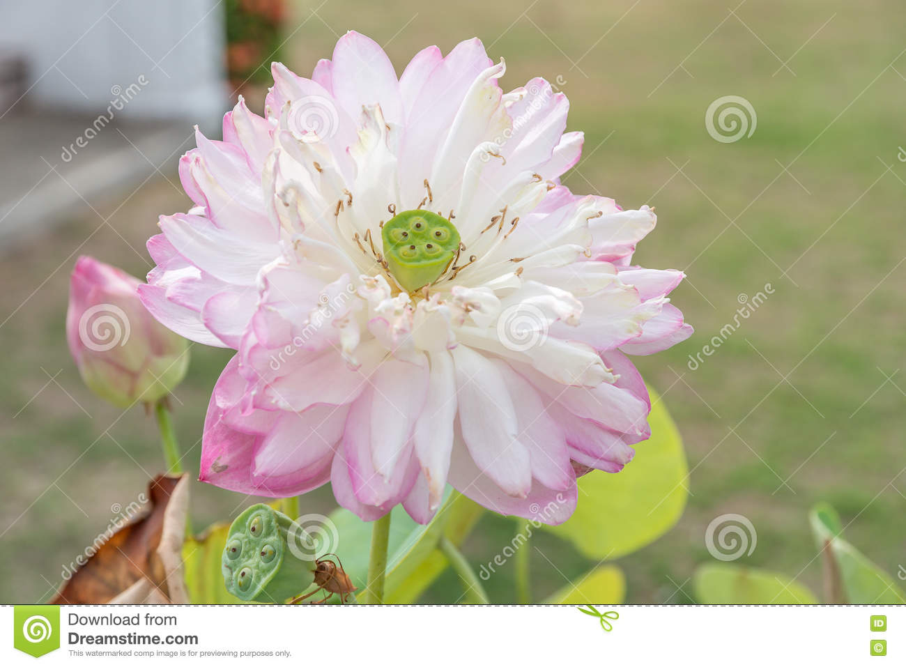 Close Up Of Pink Lotus Flower With Seed Pod Stock Image Image Of