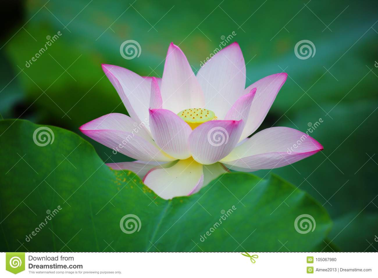 Pink lotus flower stock photo image of blossom indian 105067980 download pink lotus flower stock photo image of blossom indian 105067980 mightylinksfo