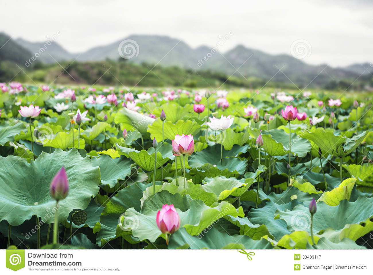Close up of pink lotus flowers on a lake in china mountains in royalty free stock photo izmirmasajfo