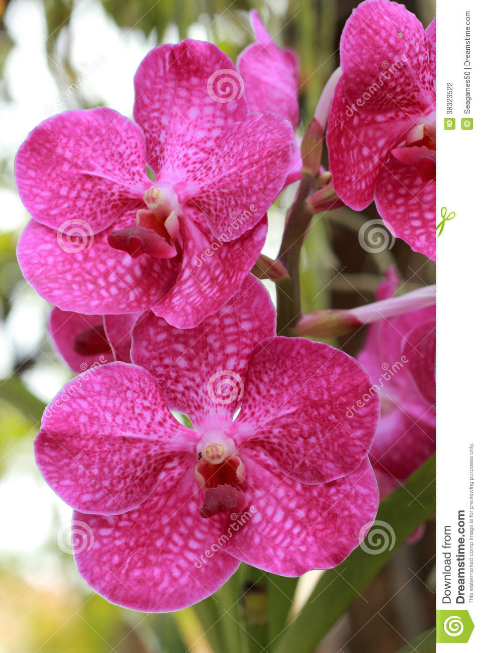 pink orchids close up - photo #15