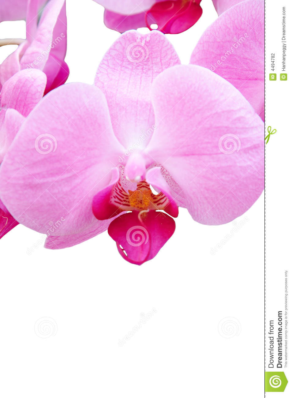 pink orchids close up - photo #14