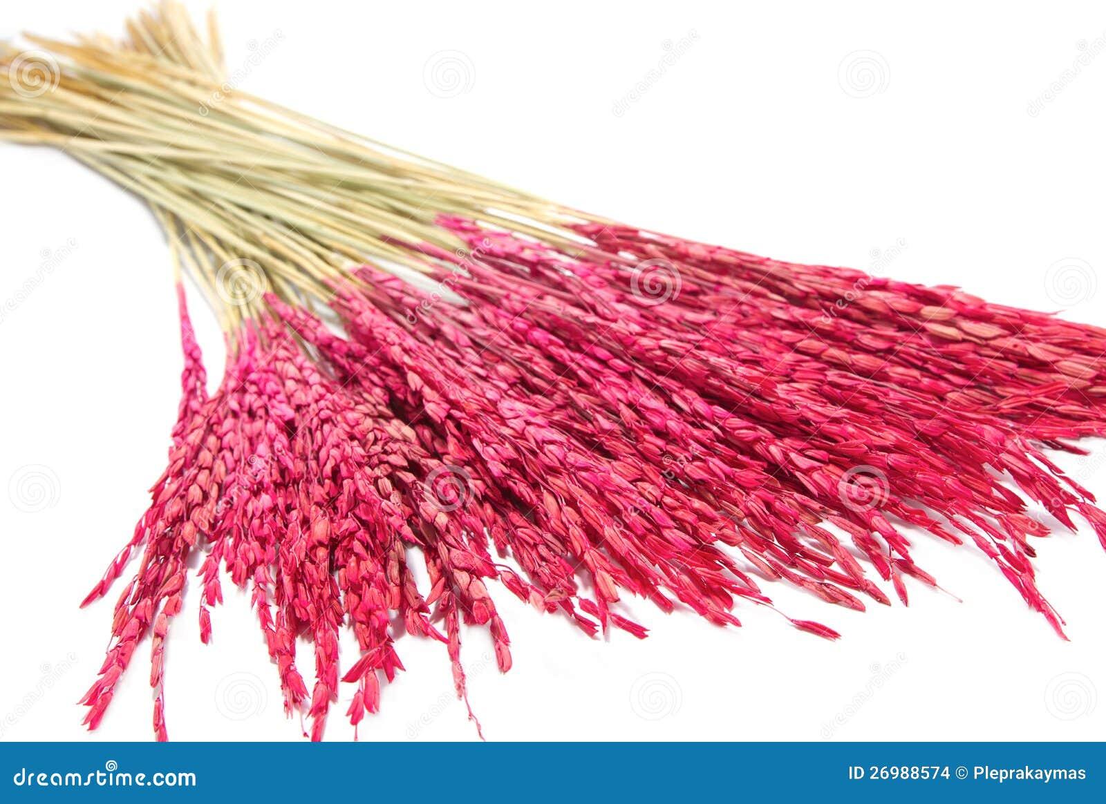 Close up pink paddy rice dry flower decoration stock photo image close up pink paddy rice dry flower decoration stock photo image of dead arrangement 26988574 mightylinksfo