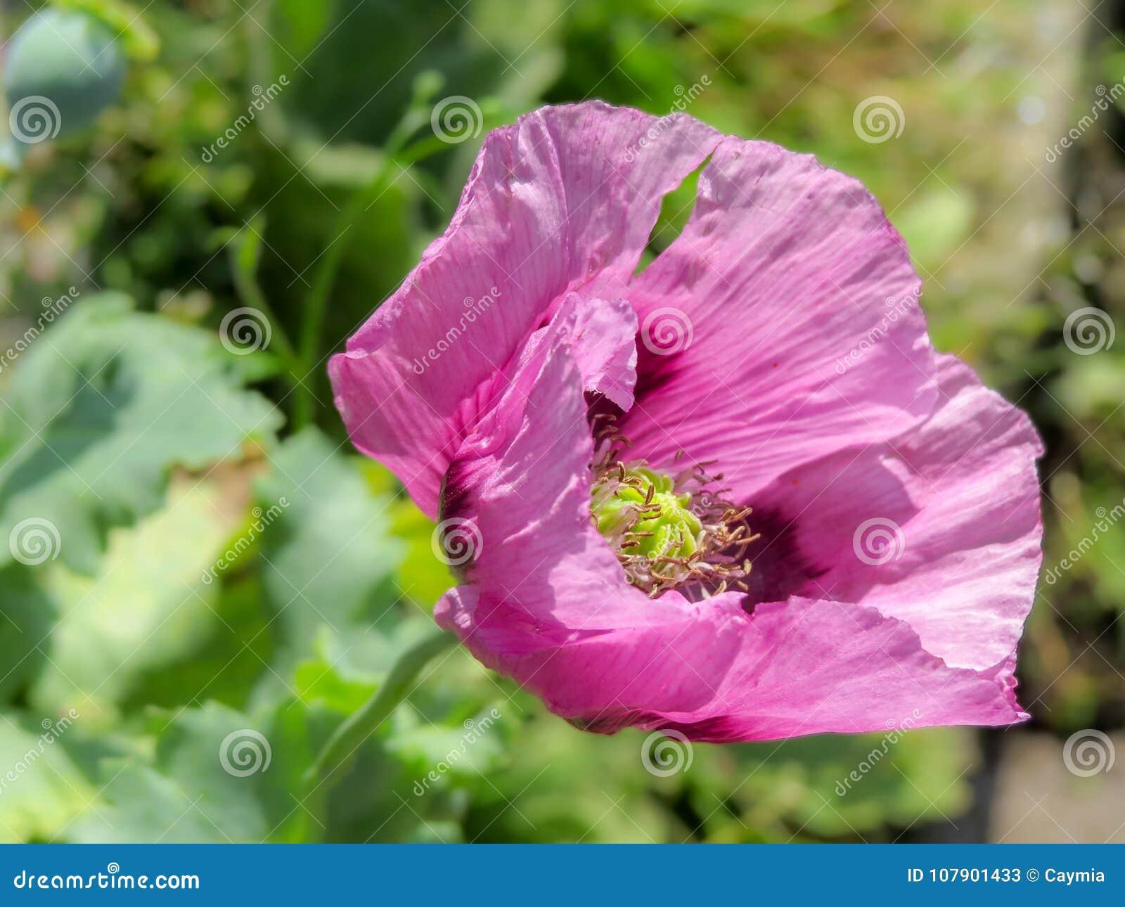 Closeup Of A Pink Opium Poppy Flower Papaver Somniferum Stock