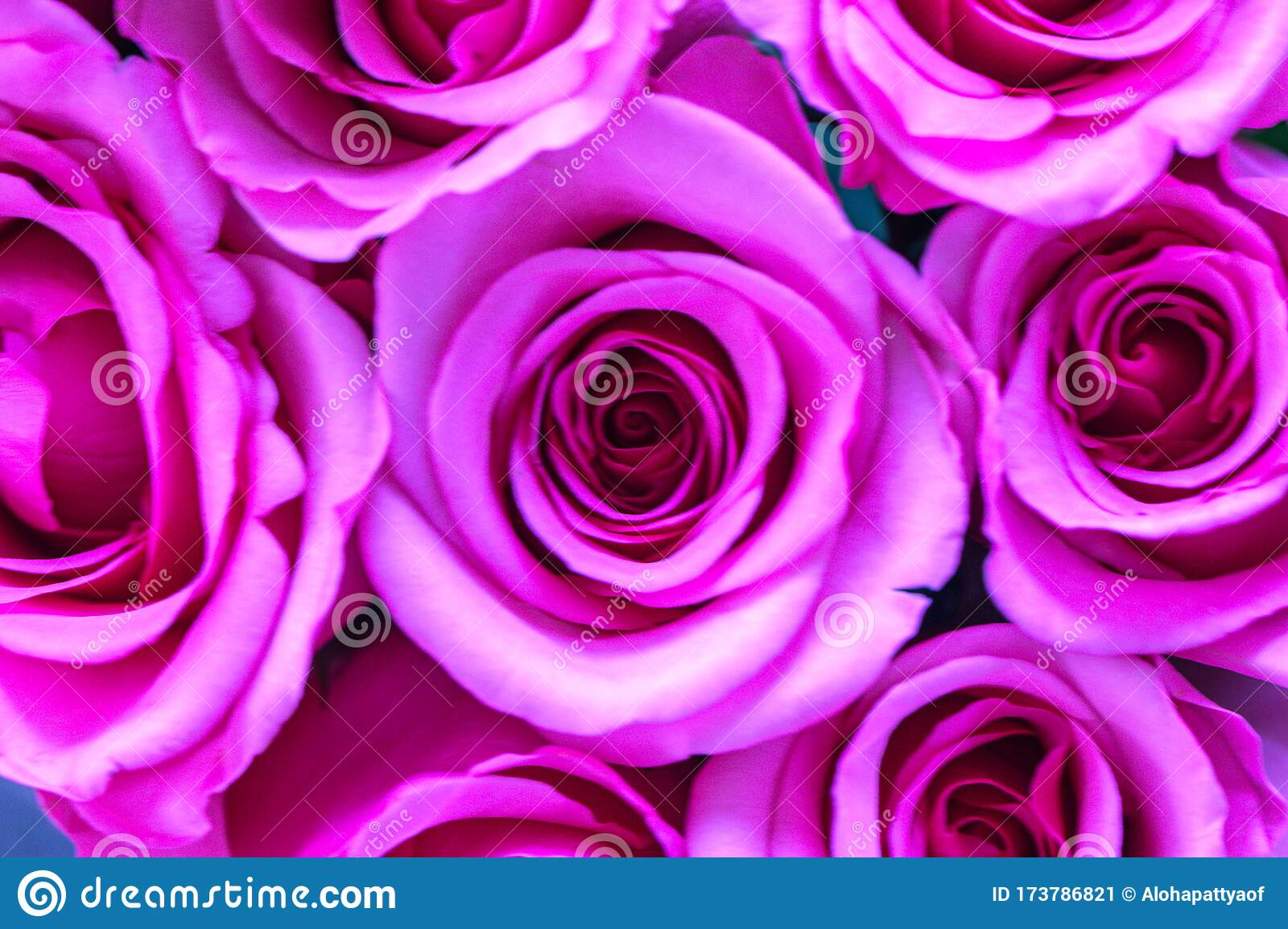 Close Up Of Pink Rose Flowers Wall Background Roses Flower