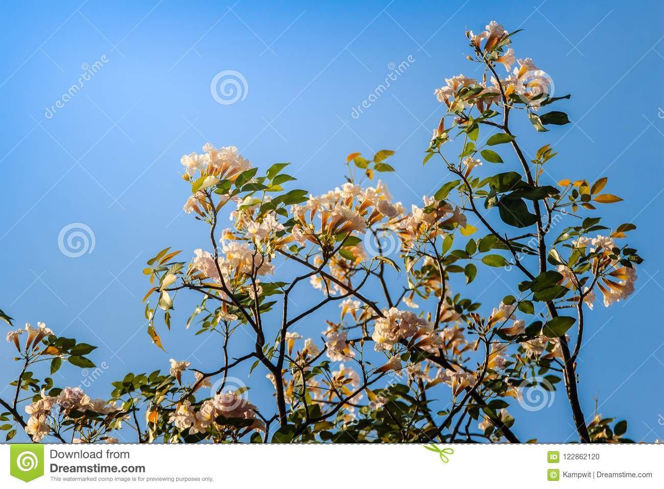 Close Up Pink Trumpet Tabebuia Rosea Flowers On Tree With Blue Sky