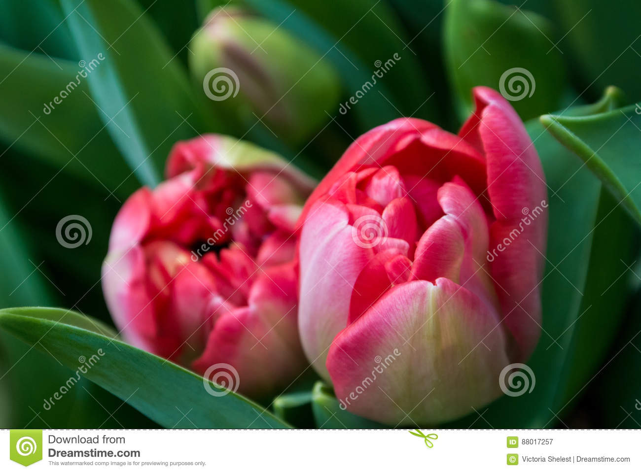 Close-up of pink tulip flowers and dark green leaves