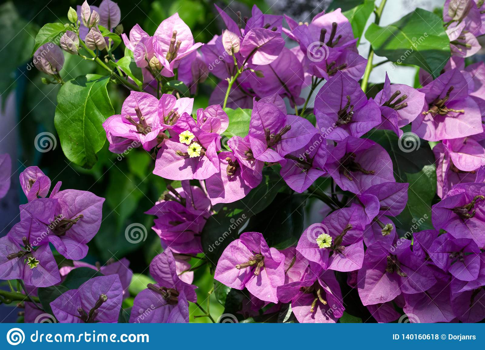 Pink violet Bougainvillea flower blossoming