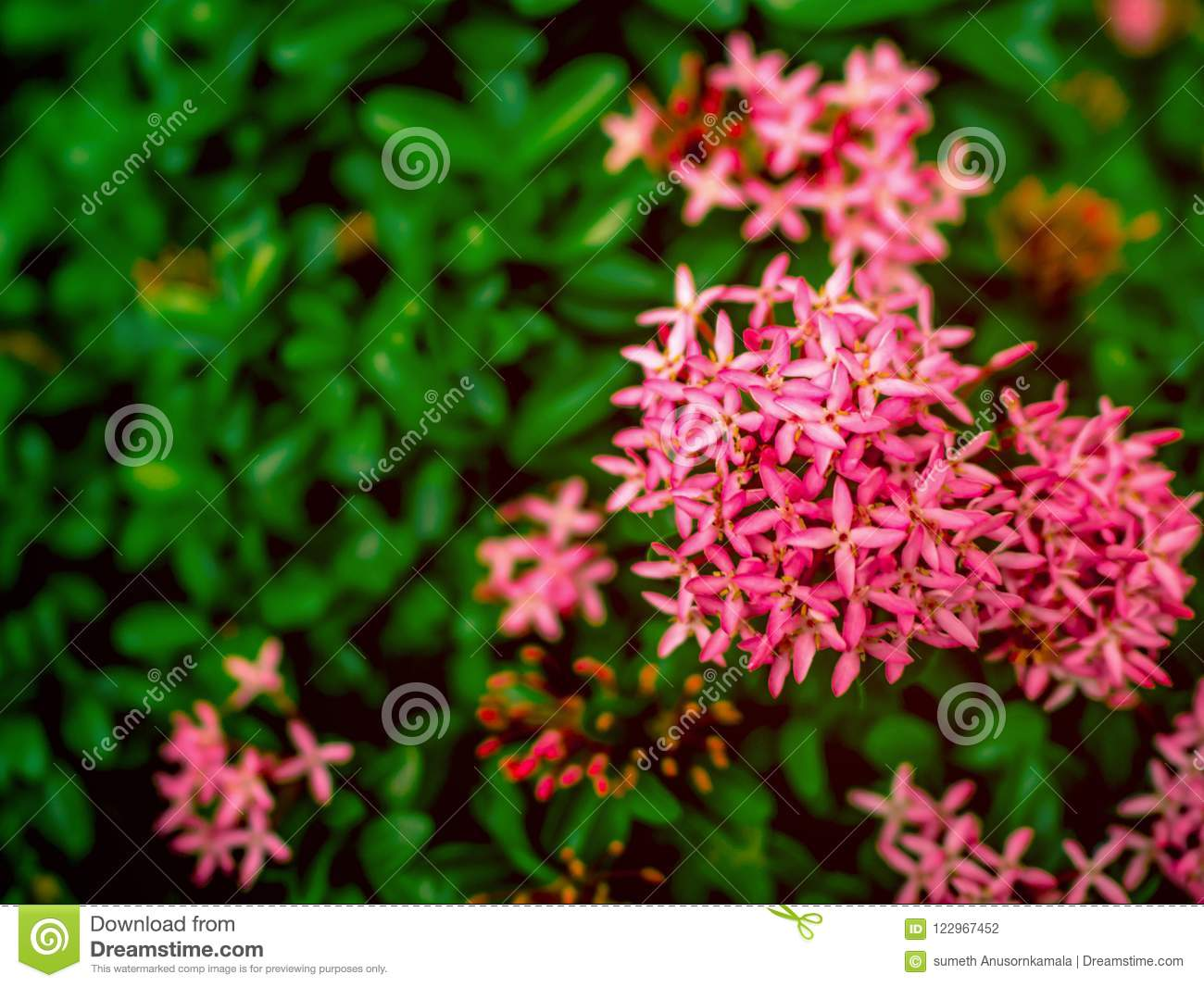 Close Up Pink West Indian Jasmine Flowers Stock Photo Image Of