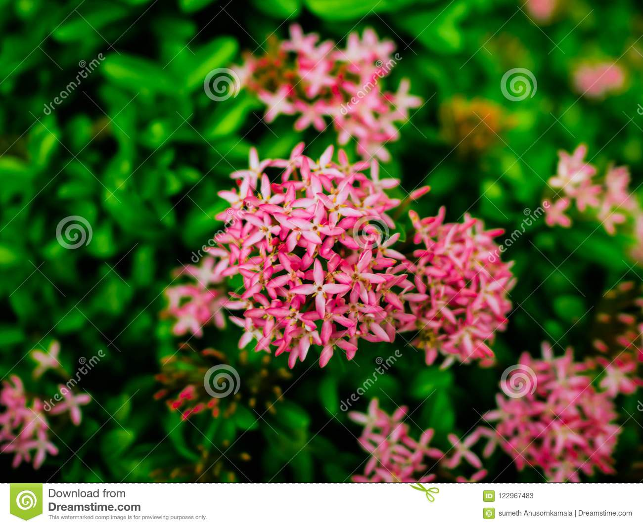 Close up pink west indian jasmine flowers stock image image of download close up pink west indian jasmine flowers stock image image of decoration leaf izmirmasajfo