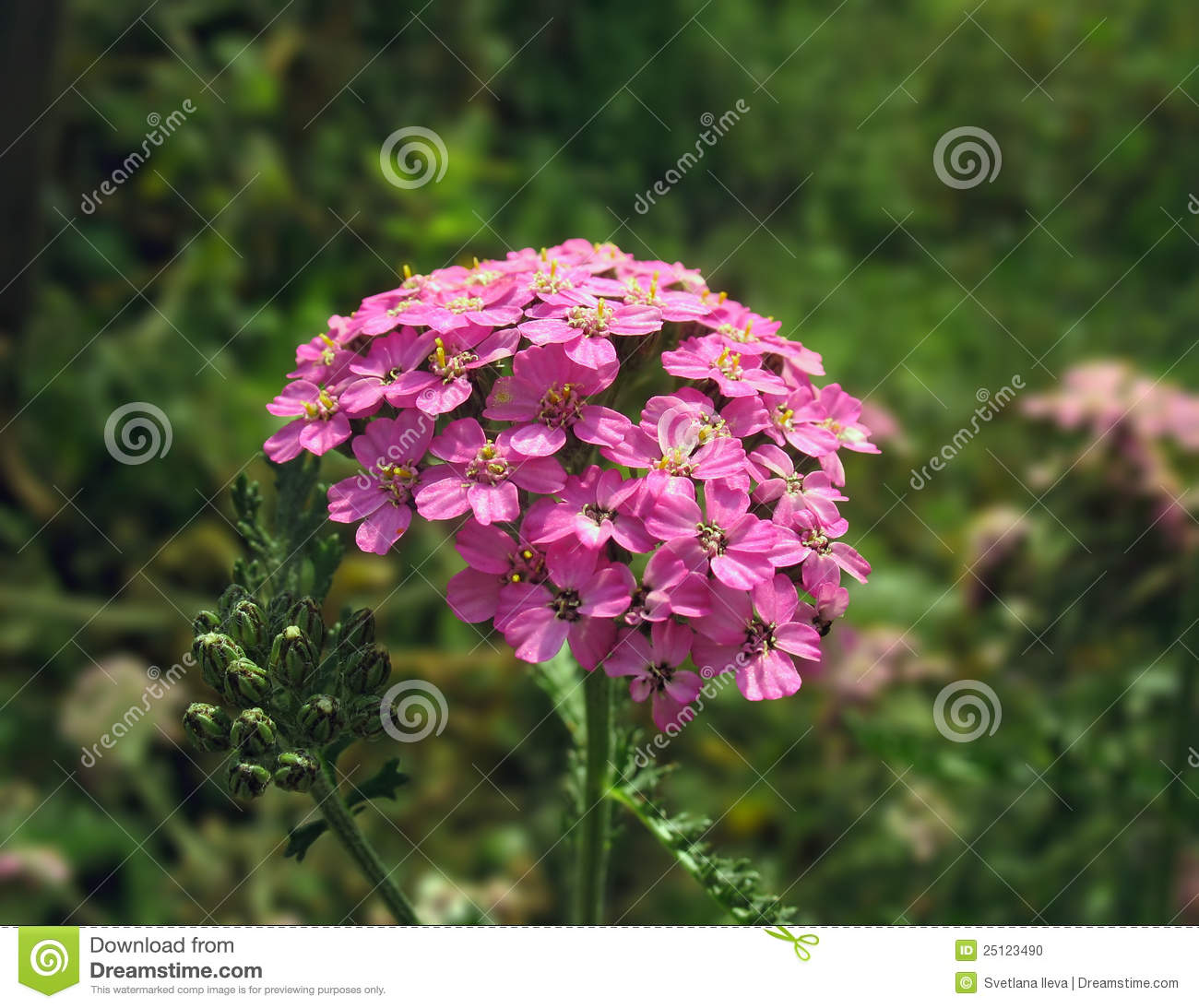 Close Up Pink Yarrow Flower Stock Image