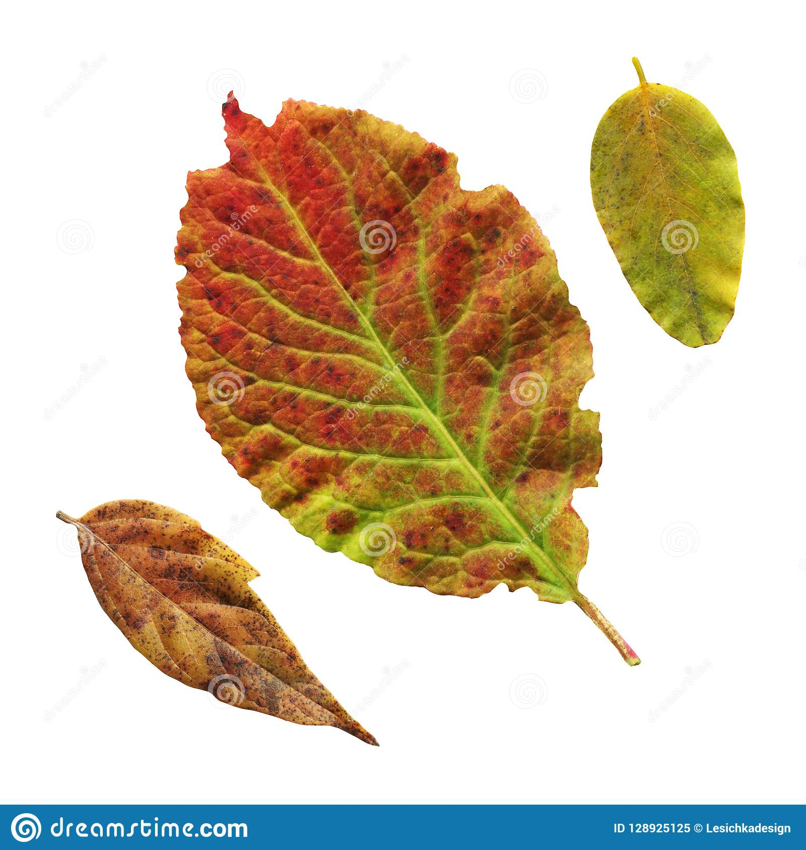 Close Up Of Plum Leaf Red Leaf Of The Plum Tree Isolated Stock